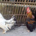 Harga Ayam Kate