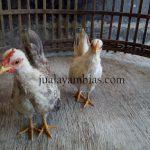 Ayam Kate Usia 2 Bulan