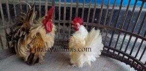 Ayam Kate Walik Dewasa2 1 HOBI TERNAK Ayam Kate Walik word2