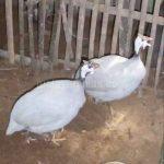 Ayam Mutiara Silver Dewasa4