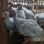 budidaya ayam mutiara