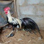 Ayam Phenix Dewasa Jantan