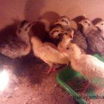 Ayam Phoenix Usia 1 Bulan
