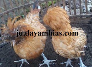 Ayam Poland Dewasa Sepasang