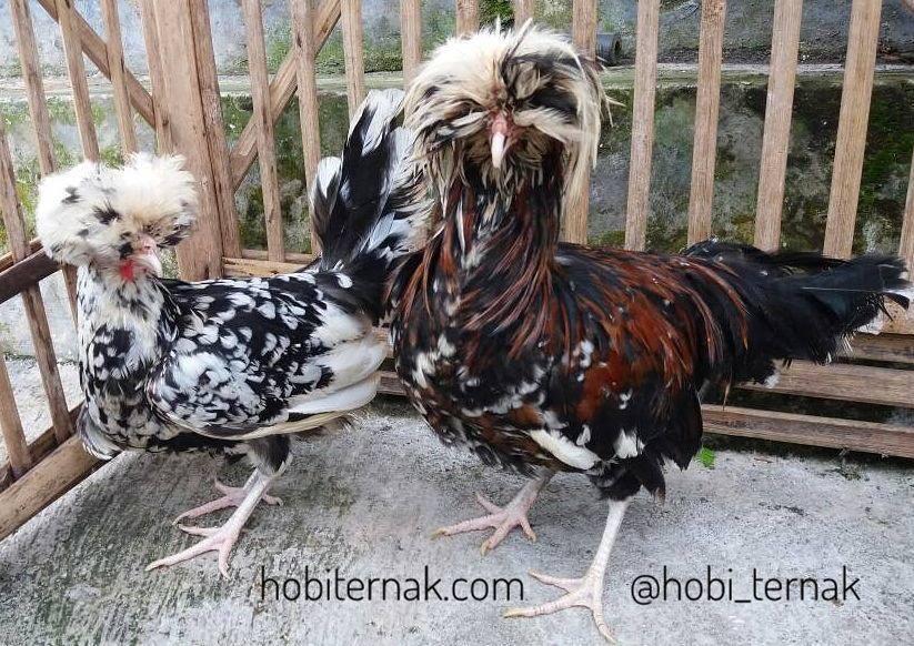 Ayam Poland Usia 5 Bulan3