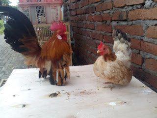 a pair of an Adult serama chicken