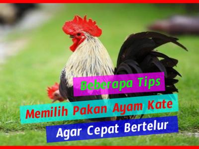 Beberapa tips memilih pakan ayam kate agar cepat bertelur HOBI TERNAK Ayam Kate Agar Cepat Bertelur word3