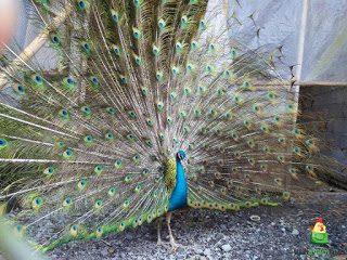 Burung Merak Biru | Image 7