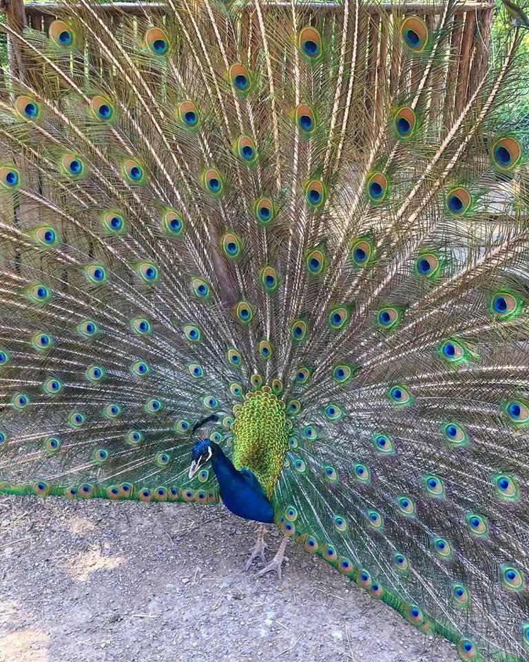 Burung Merak Biru Jantan dapat diketahui jenis kelaminnya dari panjang ekornya. Merak biru jantan memiliki ekor yang lebih panjang dan indah. | image 1