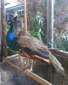 Kandang Burung Merak | Image 7