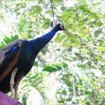 Dahulu burung merak hidup di dalam hutan | Image 5