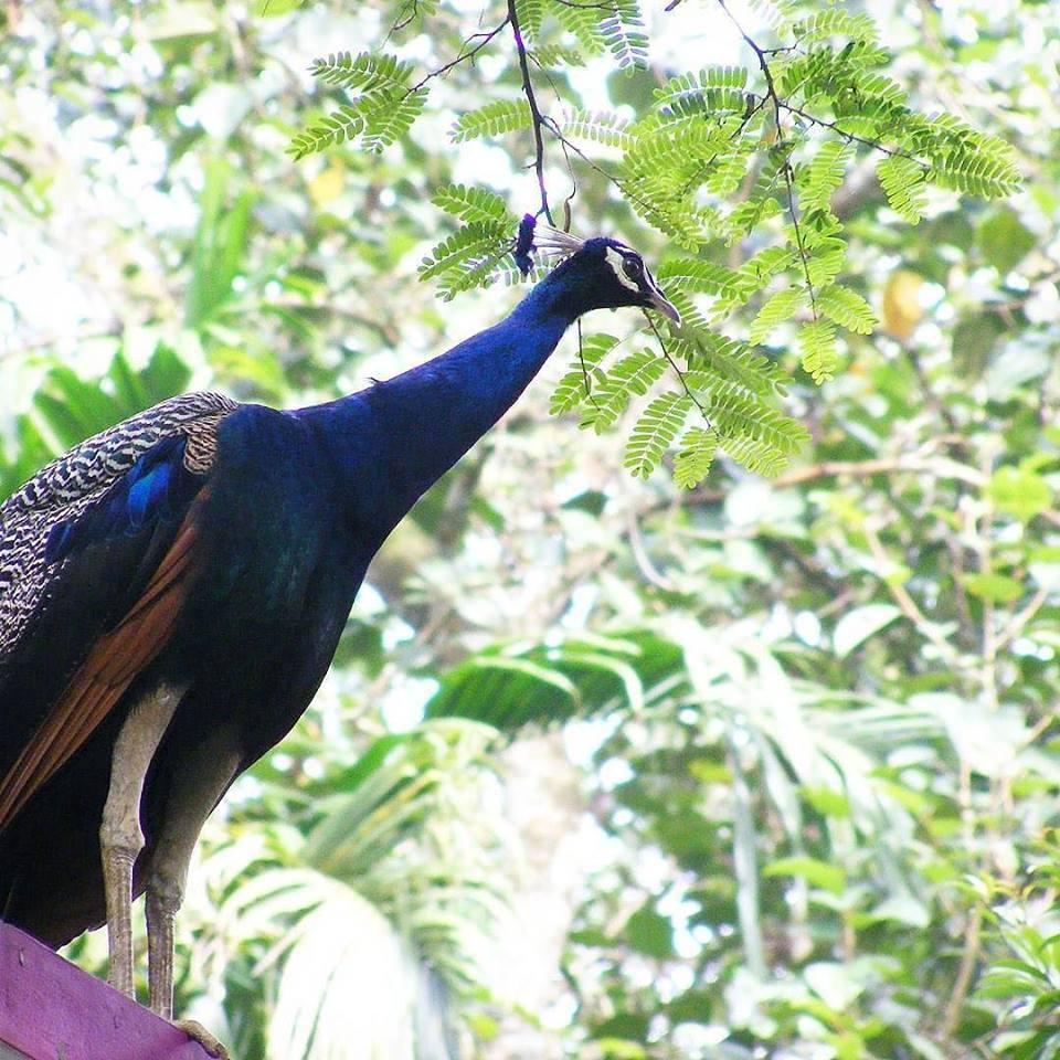 Burung Merak Biru | image 11