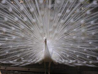 Burung Merak Putih