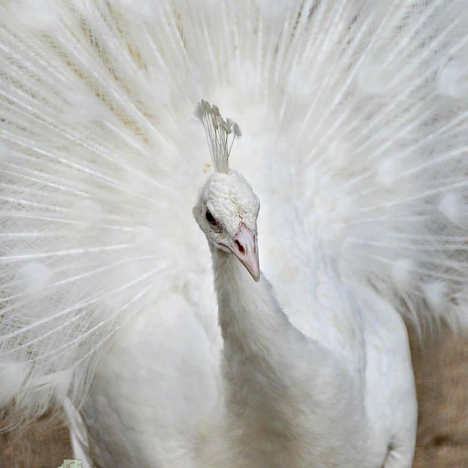 Cantiknya burung merak putih, saat ia mengembangkan ekornya ia laksana seorang puteri yang anggun. Harga burung merak putih lebih tinggi dibandingkan merak biru | image 8