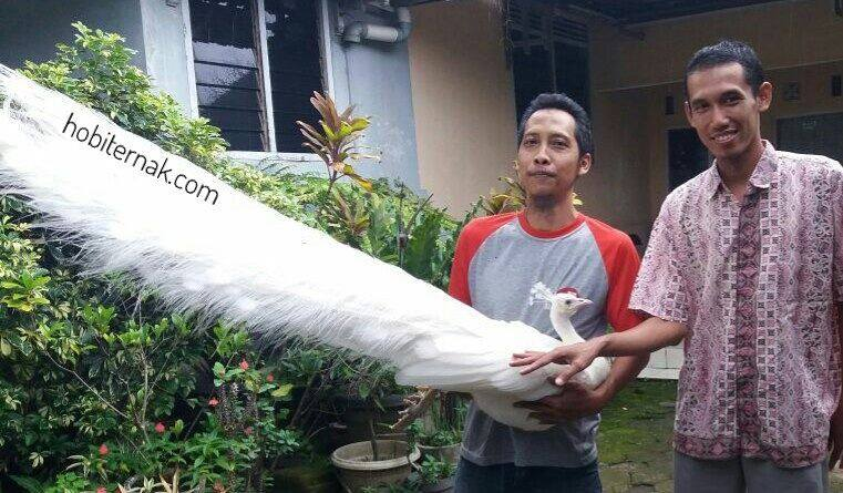 Burung Merak Putih Dewasa Jantan9