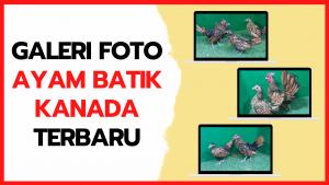 Galeri Foto Ayam Batik Kanada Terbaru