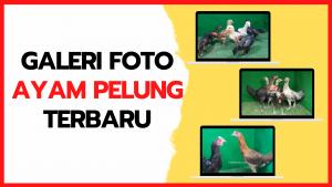Galeri Foto Ayam Pelung Terbaru