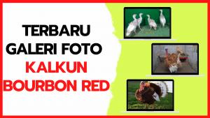 Galeri Foto Kalkun Bourbon Red Terbaru