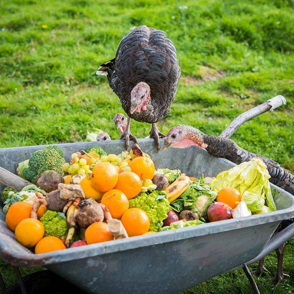 Makanan Ayam Kalkun dapat berupa sayur - sayuran dan buah - buahan.   image 12