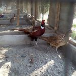Kebersihan kandang harus selalu di jaga agar pheasant terhindar dari serangan penyakit dan pheasant tetap merasa nyaman di dalam kandang