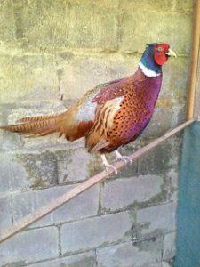 Kandang ayam ringneck pheasant