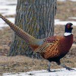 Ringneck Pheasant atau ayam pegar kalung
