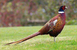 Ringneck pheasant memiliki sifat mudah untuk beradaptasi dengan lingkungan baru, jadi jika Anda membeli pheasant di hobiternak maka tidak usah khawatir karena pheasant akan langsung beradaptasi dengan lingkungan baru. | Gambar 2