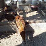 Ringneck Pheasant Dewasa1