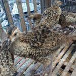Ringneck Pheasant Usia 2 Bulan