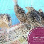 Ringneck Pheasant Usia 2 Bulan3