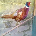 Mempunyai hobi memelihara hewan yang unik salah satunya ayam pheasant bisa menjadi pelepas penat untuk kita | Gambar 4