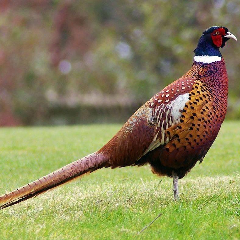 Ringneck Pheasant memiliki bulu di bagian lehernya yang melingkar seperti sedang memakai kalung