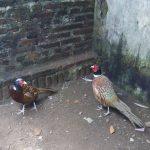 Ringneck Pheasant4