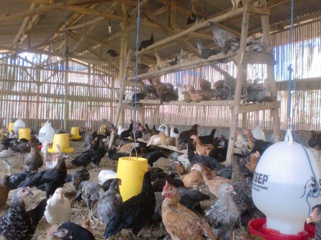 Kandang ayam joper harus diperhatikan tingkat kepadatannya agar pertumbuhannya maksimal | Image 1