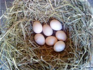 Telur Ayam Kate