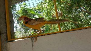 jual green ringneck pheasant