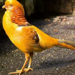 Yellow Pheasant