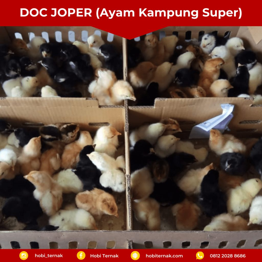 DOC JOPER / ayam kampung super usia baru saja menetas