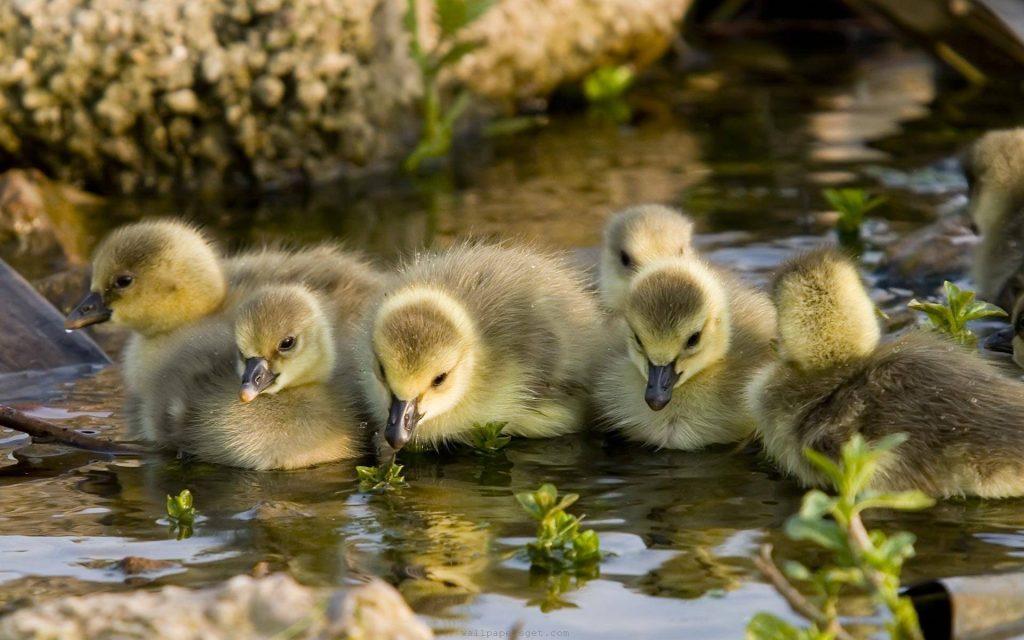 Pemilihan bibit bebek yang baik akan memberikan pengaruh baik pada pertumbuhan Bebek   image 1