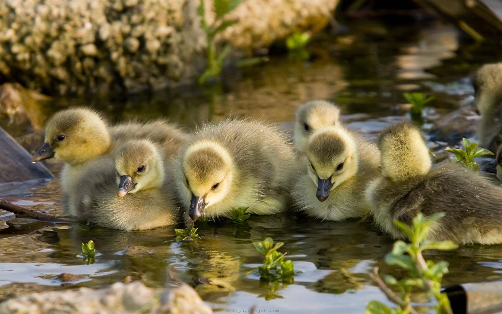 Pemilihan bibit bebek yang baik akan memberikan pengaruh baik pada pertumbuhan Bebek | image 1