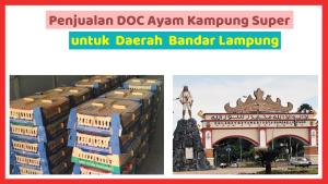 Penjualan DOC Ayam Kampung Super untuk Daerah Bandar Lampung