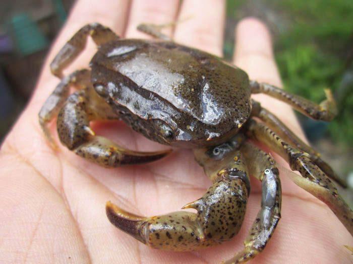 Yuyu atau Kepiting Sawah Menjadi Pakan Altrnatif dalam Ternak Bebek