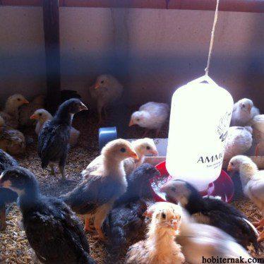 ayam kampung super3 HOBI TERNAK Ayam Kampung Super word1