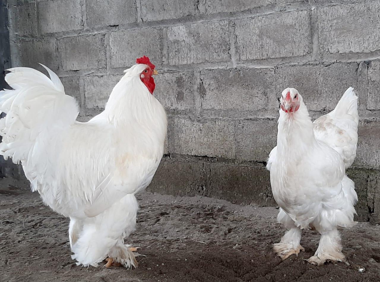 Ayam brahma putih sepasang usia dewasa dengan postur tubuh yang tak kalah besar pula   Image 2