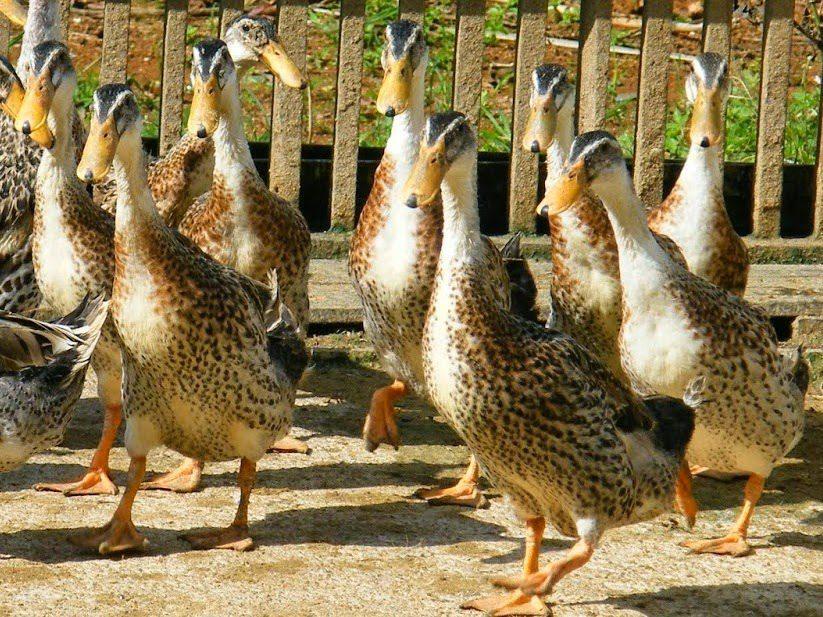 4 Jenis Bebek Petelur yang Potensial untuk di Budidayakan