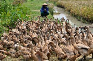 Pemeliharaan bebek sistem Angon biasnya dilakukan oleh peternak - peternak tradisional yang terdapat di daerah pedesaan. | Image 2