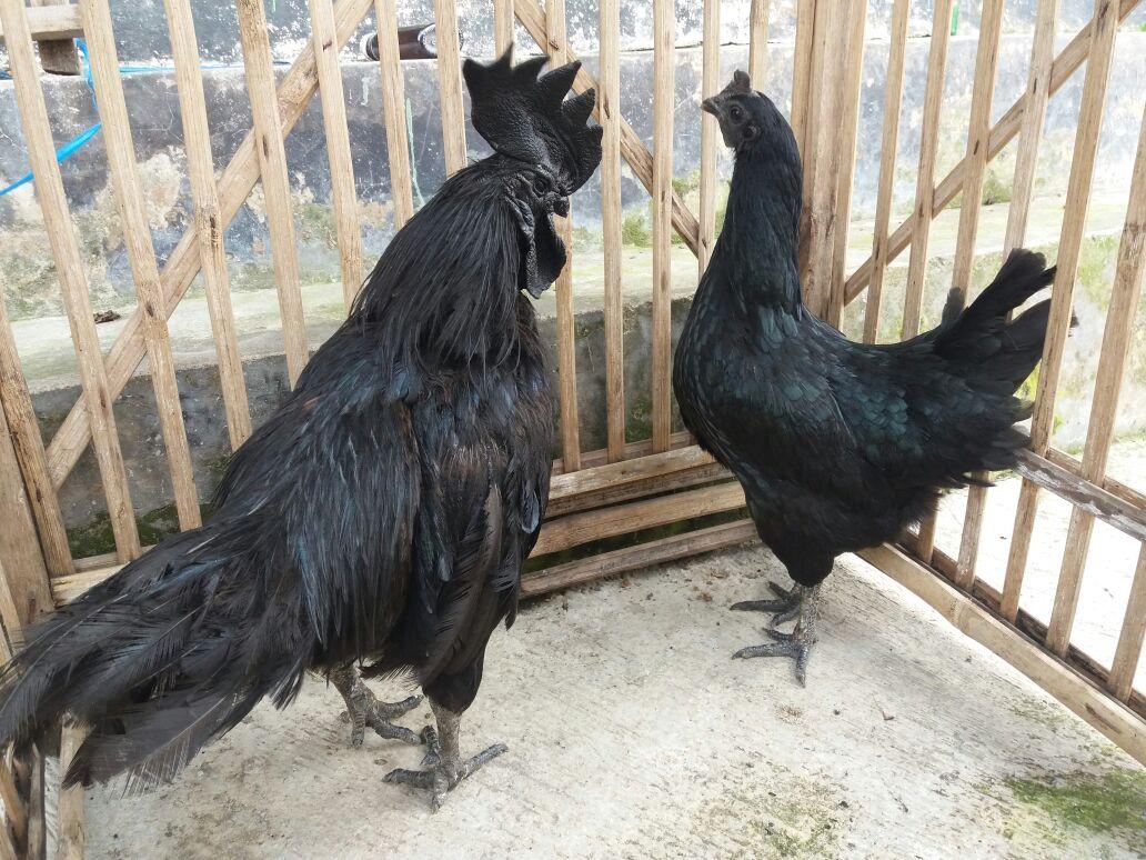 Cemani Chicken Age 5 Month