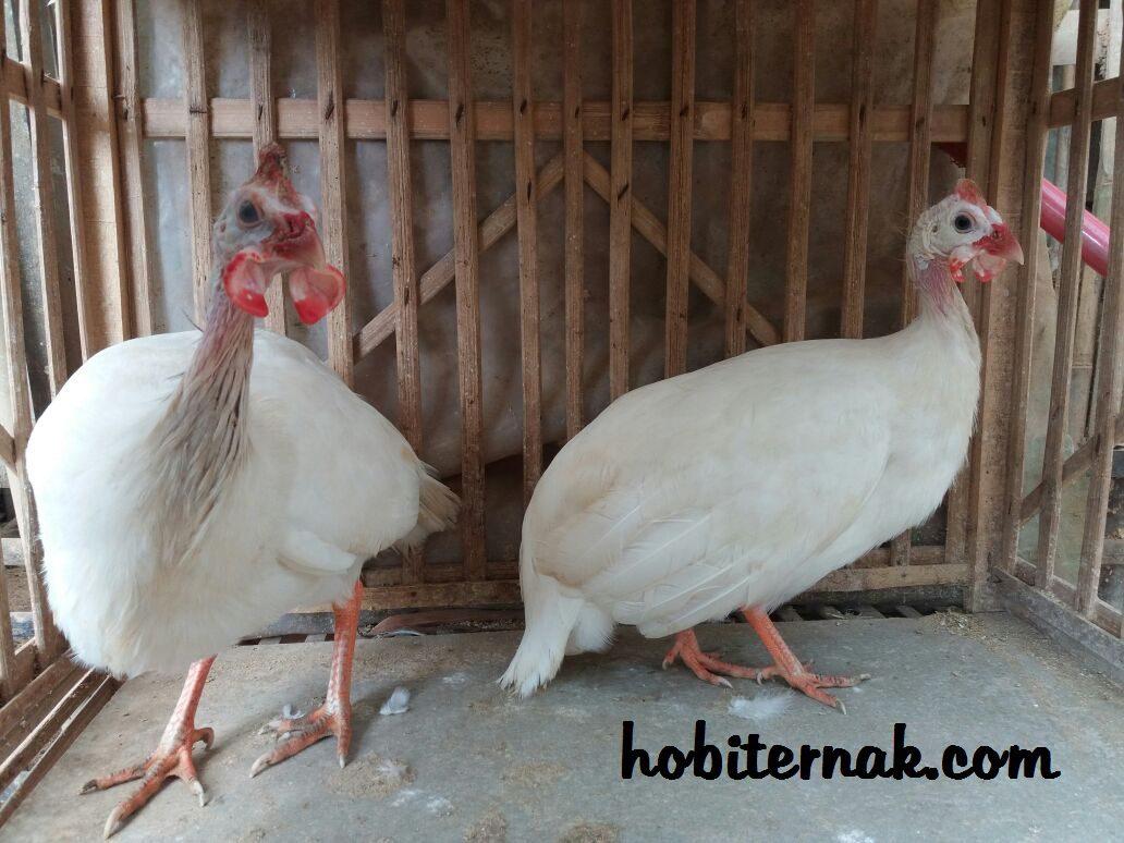Ayam Mutiara Putih | Image 5