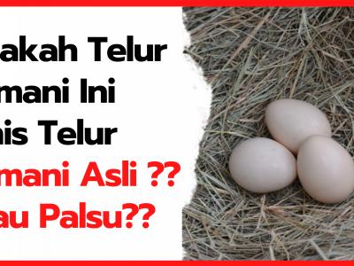 Apakah Telur Cemani Ini Jenis Telur Cemani Asli ? Atau Palsu ? | Thumnail