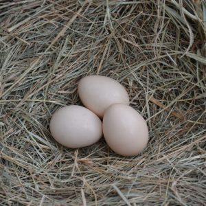 Cemani Chicken Eggs